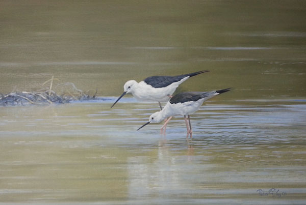 Blackwing Stilts